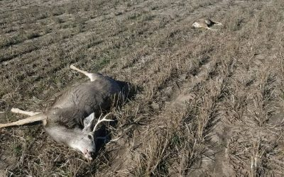 Illegal Killing of Mule Deer