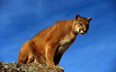 Mountain Lion Kills Goat Near Chadron