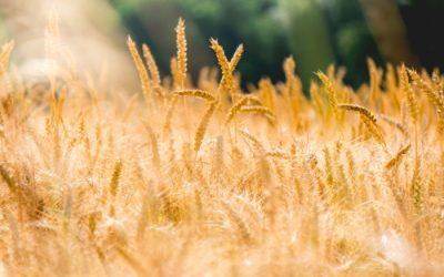 SD Winter Wheat