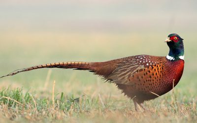 SD Drought Could Affect Pheasants