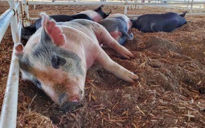 4-H Livestock Judging Results
