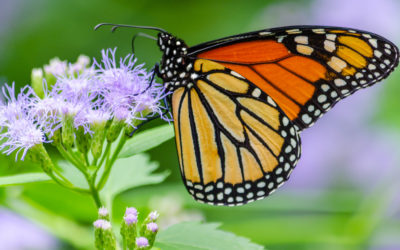 International Monarch Monitoring Blitz