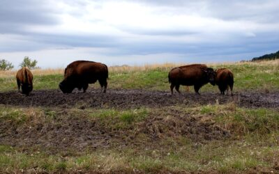 Bison Viewing at Ft. Niobrara Wildlife Refuge